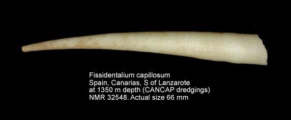 Fissidentalium capillosum