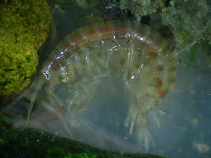 Gammarus tigrinus