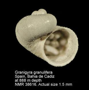 Granigyra granulifera