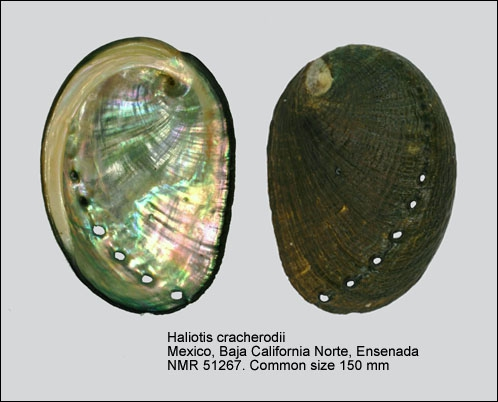 Haliotis cracherodii