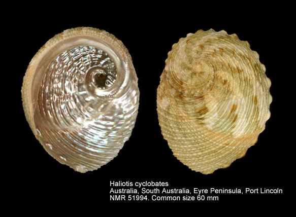 Haliotis cyclobates