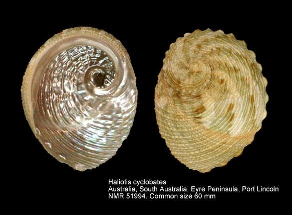 Haliotis cyclobates