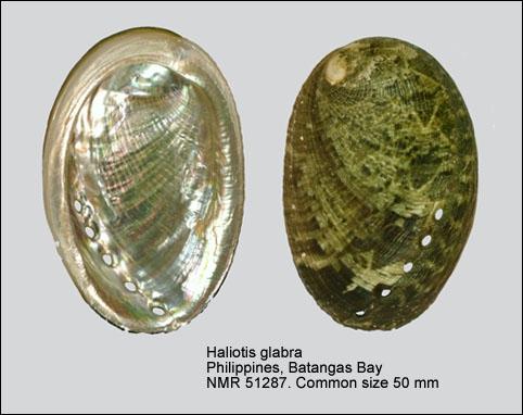 Haliotis glabra
