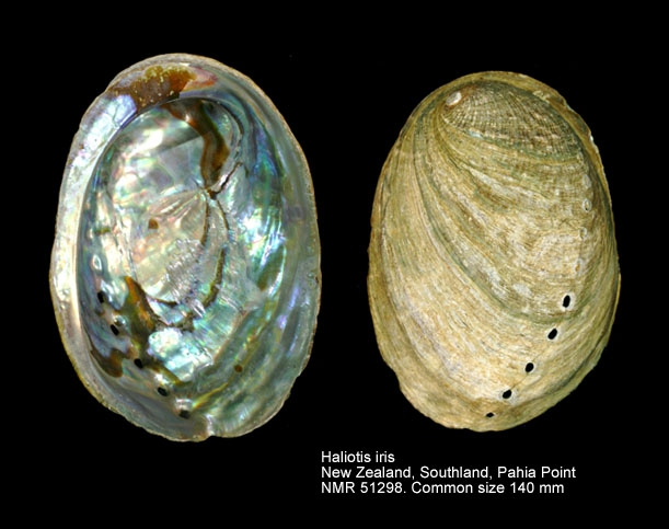 Haliotis iris