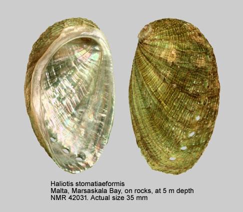 Haliotis stomatiaeformis