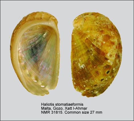 Haliotis stomatiaeformis