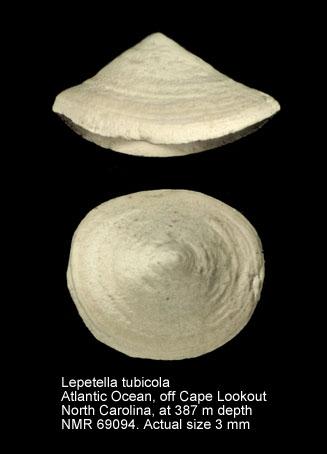 Lepetella tubicola