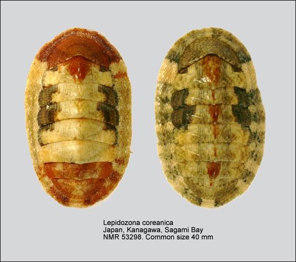Lepidozona coreanica