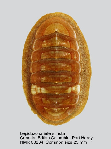 Lepidozona interstincta