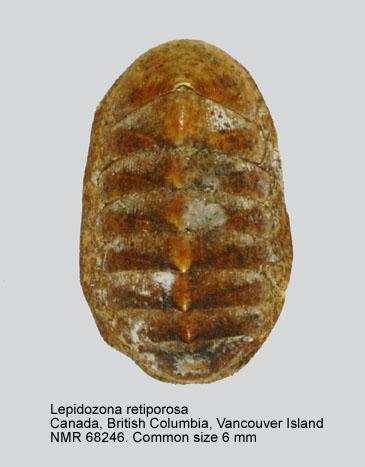 Lepidozona retiporosa