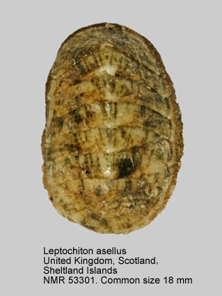 Leptochiton asellus