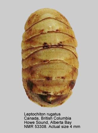 Leptochiton rugatus