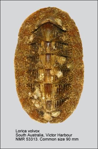 Lorica volvox