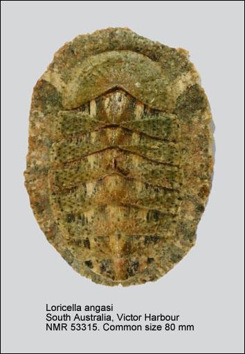 Loricella angasi