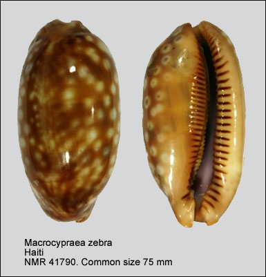 Macrocypraea zebra
