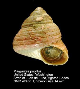 Margarites pupillus