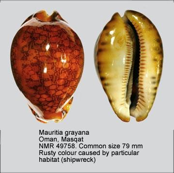 Mauritia grayana