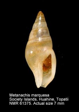 Metanachis marquesa