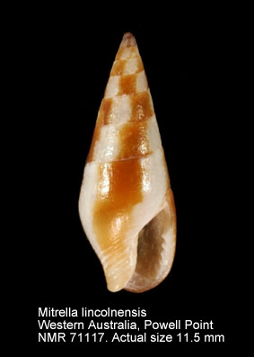 Mitrella lincolnensis