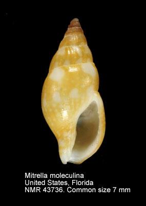 Mitrella moleculina