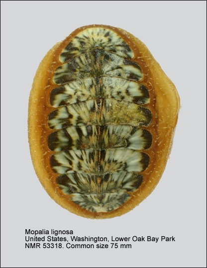 Mopalia lignosa