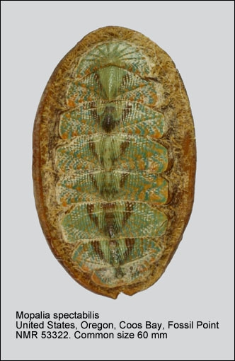 Mopalia spectabilis
