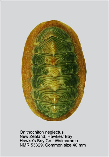 Onithochiton neglectus neglectus
