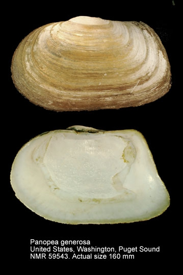 Panopea generosa