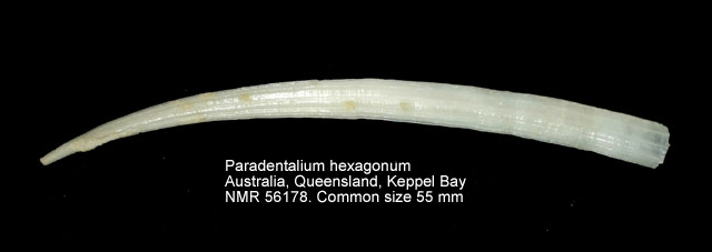 Paradentalium hexagonum