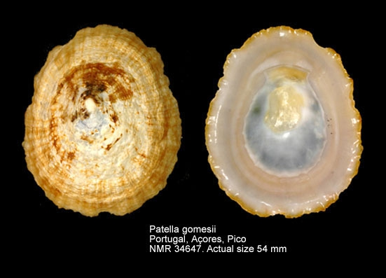 Patella candei