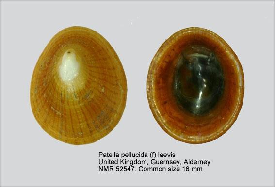 Patella pellucida