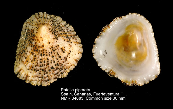Patella piperata