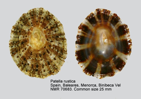 Patella rustica
