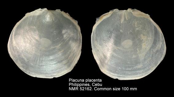 Placuna placenta