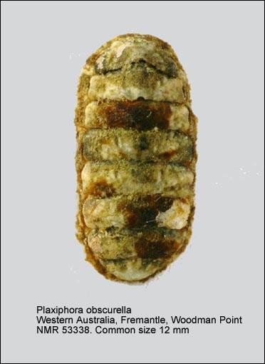 Plaxiphora (Plaxiphora) obscurella
