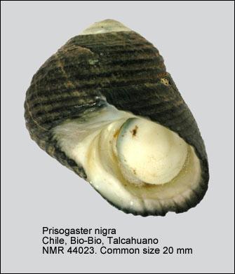 Prisogaster niger