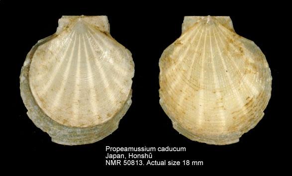 Propeamussium caducum