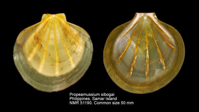 Propeamussium sibogai