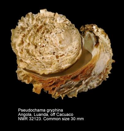 Pseudochama gryphina