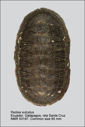 Radsia sulcatus