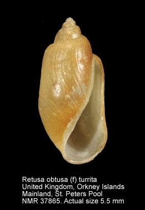 Retusa obtusa