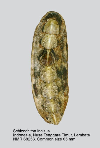 Schizochiton incisus