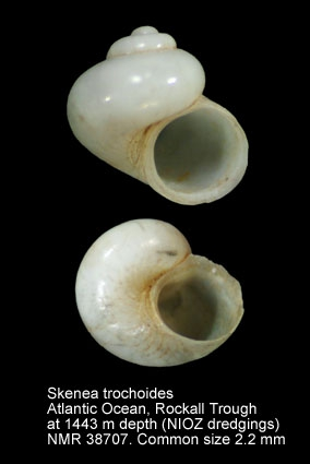 Skenea trochoides