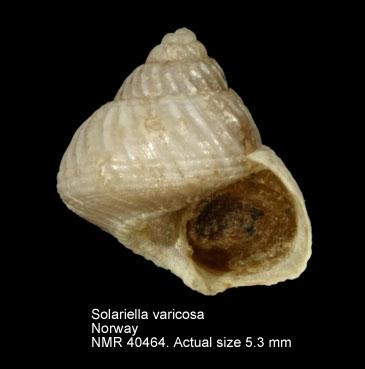 Solariella varicosa