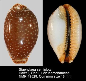 Staphylaea semiplota