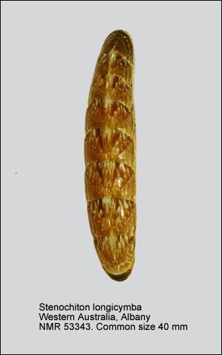 Stenochiton longicymba