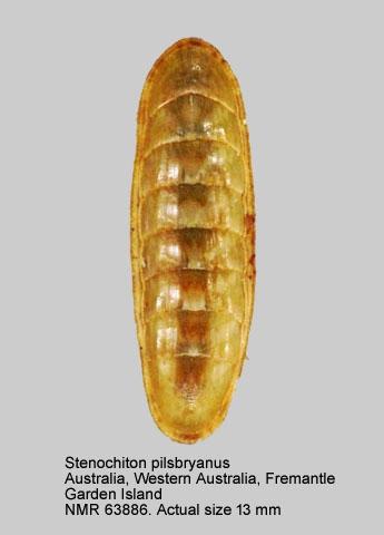 Stenochiton pilsbryanus
