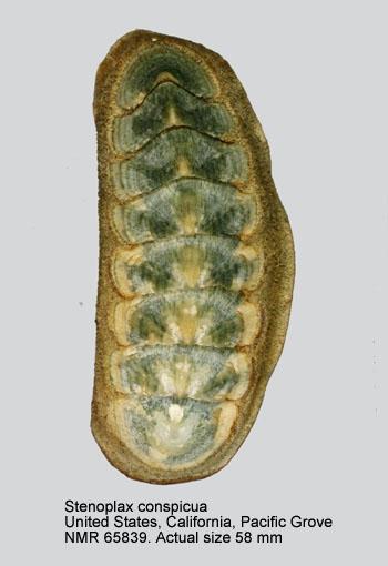 Stenoplax (Stenoradsia) conspicua