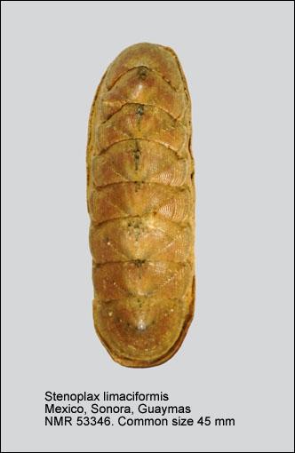 Stenoplax (Stenoplax) limaciformis
