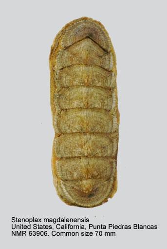 Stenoplax (Stenoradsia) magdalenensis
